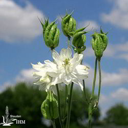 Aquilegia vulgaris var. flore-pleno 'Green Apples'