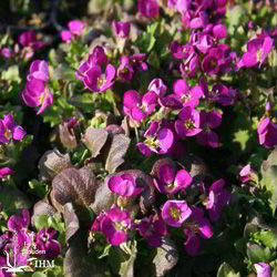 Arabis caucasica 'Little Treasure Deep Rose'