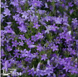 Campanula portenschlagiana 'Nice to see'