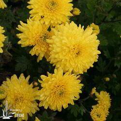 Chrysanthemum hort. 'Goldmarie'
