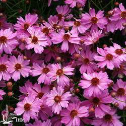 Coreopsis rosea 'Limerock Passion'