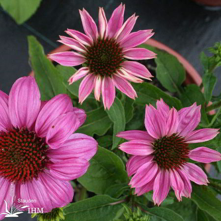 echinacea purpurea pow wow wild berry stauden ihm. Black Bedroom Furniture Sets. Home Design Ideas