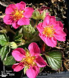Fragaria 'Red Ruby'