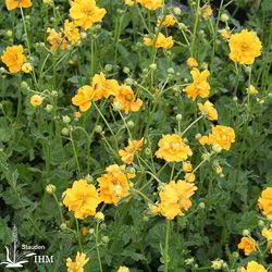 Geum 'Goldball'