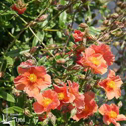 Helianthemum 'Luise Reuss'