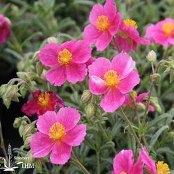 Helianthemum 'Raspberry Ripples'
