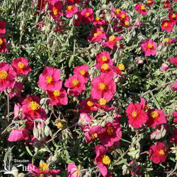 Helianthemum 'Red Orient'