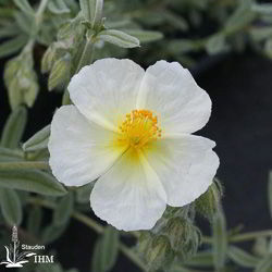 Helianthemum 'Snow Queen'