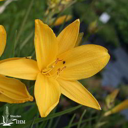 Hemerocallis dumortieri