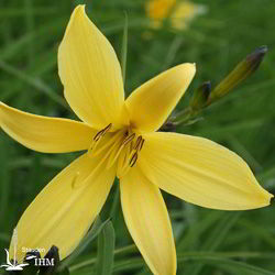 Hemerocallis minor