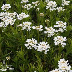 Iberis sempervirens 'Findel'