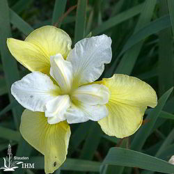 Iris sibirica 'Butter and Sugar'