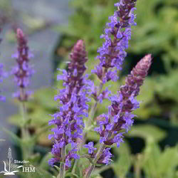Salvia nemorosa 'Rhapsody in Blue'