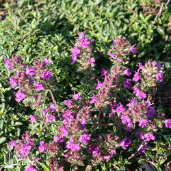 Thymus serpyllum 'Purple Beauty'