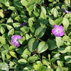 Vinca minor 'Verino'