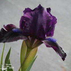 Iris 'Little Shadow'