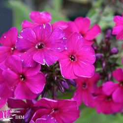 Phlox paniculata 'Raving Beauty'