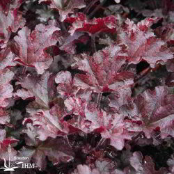 Heuchera 'Berry Marmelade'