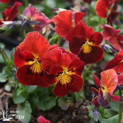 Viola cornuta 'Callisto Red Blotches'