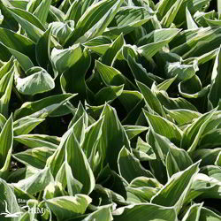 Hosta 'Tom Schmidt'