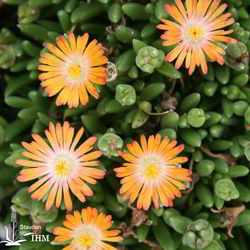 Delosperma 'Jewel of Desert Topaz'